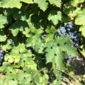 vine - The health benefits of organic wine