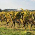 Vignoble au Château Suau