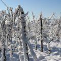 effet gel vigne