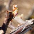 Les travaux du vigneron au début du printemps