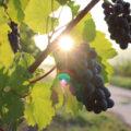 Les effets du réchauffement climatique sur le vin