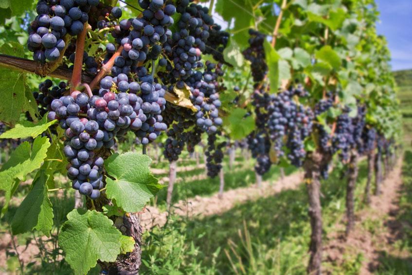 Histoire de la viticulture biologique ch teau suau - Bassin baignade biologique bordeaux ...