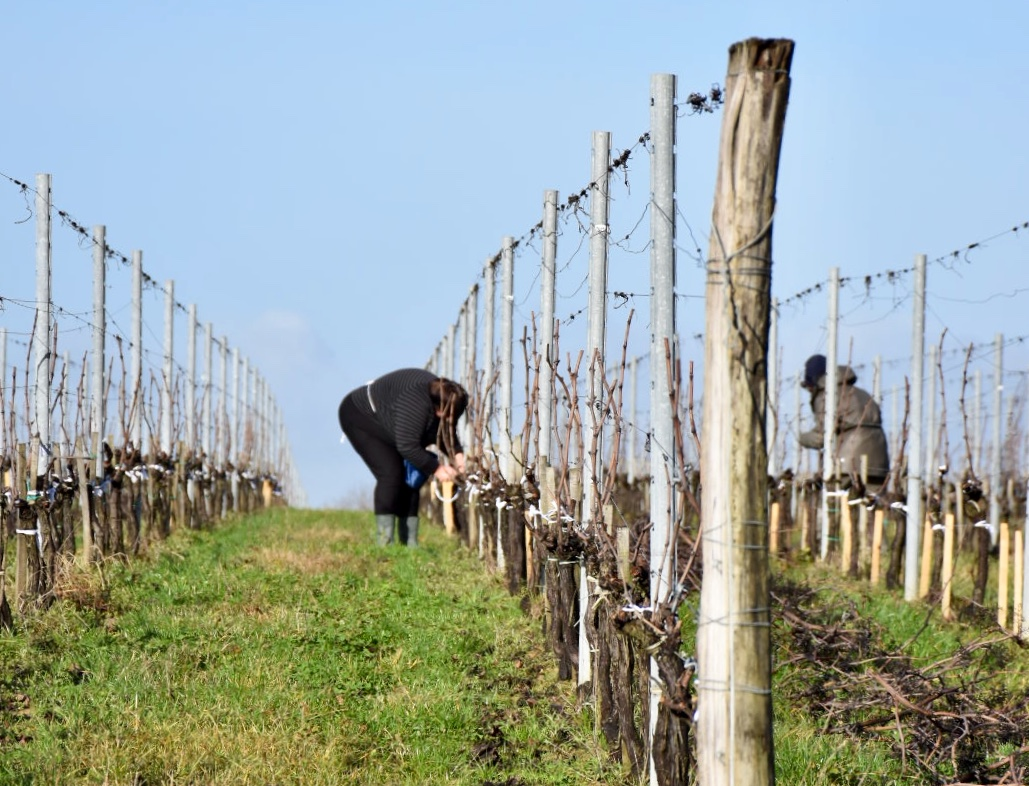prune a vine - Pruning grape vines: how to prune a vine and pruning styles