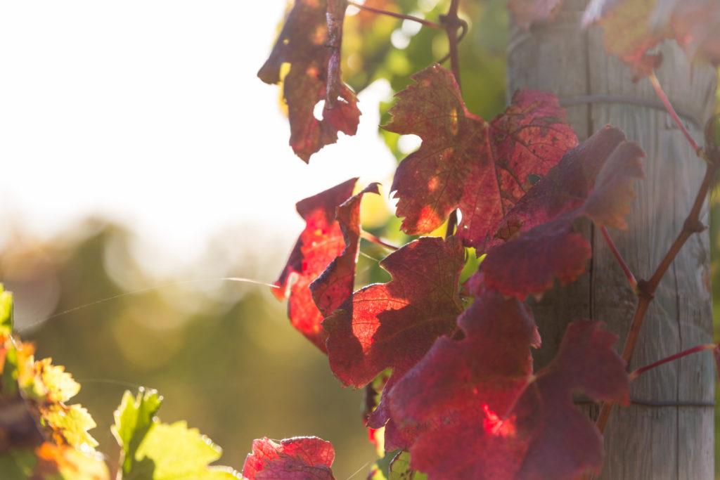 Entretien du vignoble