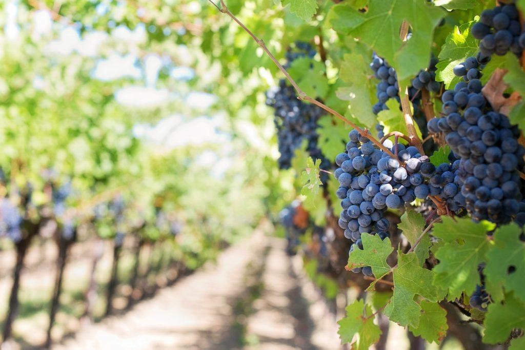 Vigne bordelaise